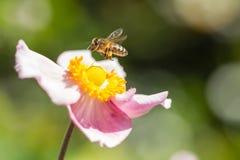 在一朵桃红色日本银莲花属花附近的Hoverfly 库存图片