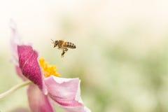 在一朵桃红色日本银莲花属花附近的Hoverfly 免版税库存照片