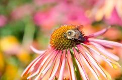 在一朵桃红色海胆亚目花的蜂 库存图片