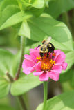 在一朵桃红色百日菊属花的土蜂 库存图片