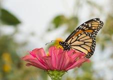 在一朵桃红色百日菊属花的黑脉金斑蝶 免版税库存图片