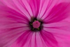 在一朵桃红色花中间的花粉,特写镜头 免版税库存图片