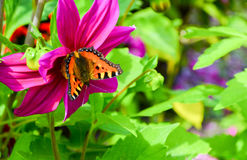 在一朵桃红色花大丽花的蝴蝶 库存图片