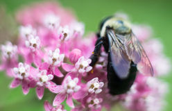 在一朵桃红色花的一只土蜂 免版税库存照片