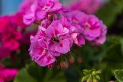 在一朵桃红色花的一只蜂 免版税库存照片