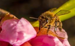 在一朵桃红色花的一只蜂 库存照片