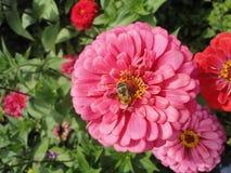 在一朵桃红色花的一只蜂 免版税库存图片