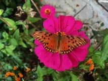 在一朵桃红色花的一只蝴蝶 免版税库存图片