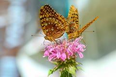 在一朵桃红色花的两只伟大的闪烁的贝母蝴蝶 免版税图库摄影