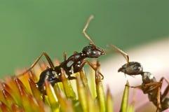 在一朵桃红色花的两只蚂蚁 免版税库存图片