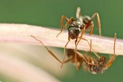 在一朵桃红色花的两只蚂蚁 库存照片