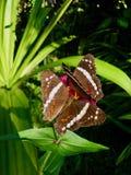 在一朵桃红色花的两只蝴蝶 库存图片