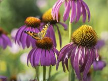 在一朵桃红色花的五颜六色的蝴蝶 免版税库存图片