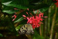 在一朵桃红色花的唯一纸风筝想法leuconoe蝴蝶接近的开会有绿色叶子背景 库存照片