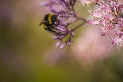 在一朵桃红色花的土蜂 免版税库存照片