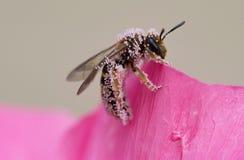 在一朵桃红色花的坚硬工作的蜂 免版税图库摄影