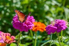在一朵桃红色花的女王蝴蝶 免版税库存照片