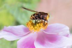 在一朵桃红色花的昆虫 图库摄影