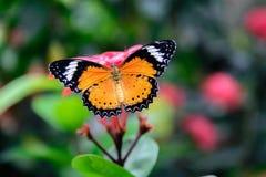 在一朵桃红色花的橙色和黑简单的老虎蝴蝶 免版税库存图片