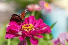 在一朵桃红色花的欧洲孔雀铗蝶inachis IO 复制空间 免版税库存图片