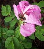 在一朵桃红色花的甲虫 库存照片