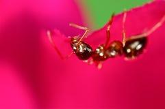 在一朵桃红色花的红色蚂蚁 图库摄影