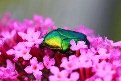 在一朵桃红色花的罗斯金龟子 库存照片