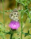 在一朵桃红色花的美丽的使有大理石花纹的白色蝴蝶 免版税图库摄影