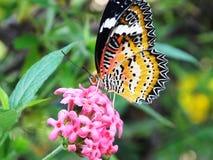 在一朵桃红色花的美丽的蝴蝶 库存照片