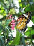 在一朵桃红色花的美丽的蝴蝶 免版税图库摄影