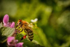 在一朵桃红色花的蜂收集花粉和会集花蜜的对p 免版税库存照片