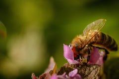 在一朵桃红色花的蜂收集花粉和会集花蜜的对p 库存图片