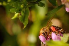 在一朵桃红色花的蜂收集花粉和会集花蜜的对p 免版税库存图片