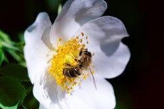 在一朵桃红色花的蜂 蜂蜜蜂宏指令在玫瑰色花的 库存照片