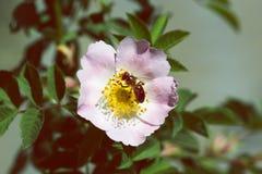 在一朵桃红色花的蜂 蜂蜜蜂宏指令在玫瑰色花的 免版税库存图片