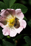 在一朵桃红色花的蜂 蜂蜜蜂宏指令在玫瑰色花的 免版税图库摄影