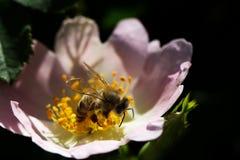 在一朵桃红色花的蜂 蜂蜜蜂宏指令在玫瑰色花的 免版税库存照片