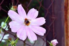 在一朵桃红色花的蜂 免版税库存照片