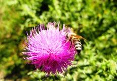 在一朵桃红色花的蜂 图库摄影