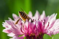 在一朵桃红色花的蜂 免版税图库摄影