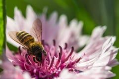 在一朵桃红色花的蜂 免版税库存图片