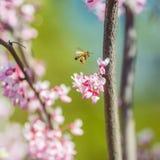 在一朵桃红色花的蜜蜂飞行 库存图片