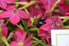 在一朵桃红色花的蜜蜂 免版税库存照片