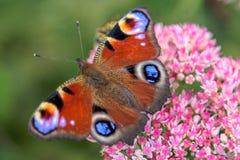 在一朵桃红色花的蝴蝶 免版税库存图片