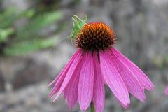 在一朵桃红色花的蟋蟀 库存照片
