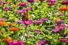 在一朵桃红色花的黑脉金斑蝶 图库摄影