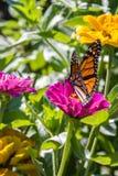 在一朵桃红色花的黑脉金斑蝶 库存照片