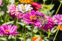 在一朵桃红色花的黑脉金斑蝶 免版税库存照片