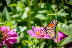在一朵桃红色花的黑脉金斑蝶 免版税图库摄影