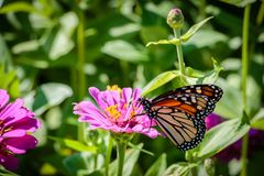 在一朵桃红色花的黑脉金斑蝶 库存图片